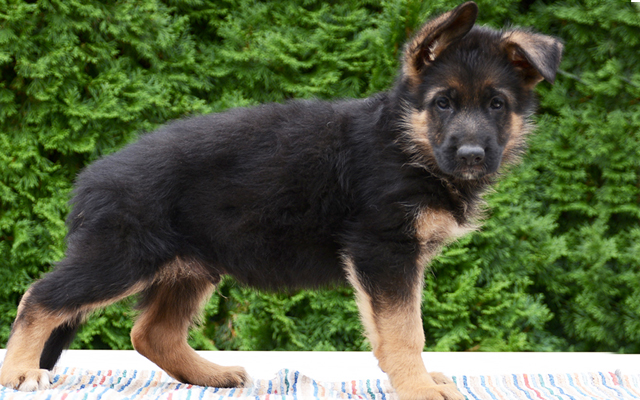 german shepherd black&tan puppy image