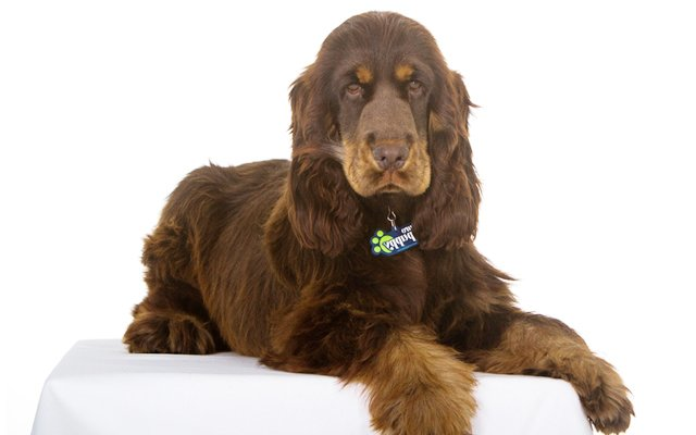 english cocker spaniel chocolate and tan image