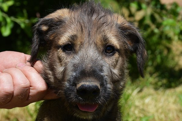 irish wolfhound brindle puppy image