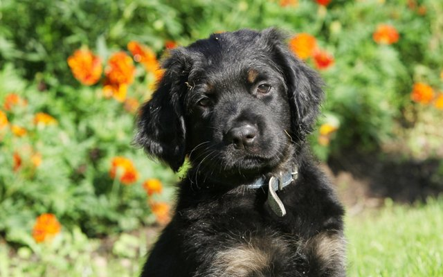 hovawart black puppy image