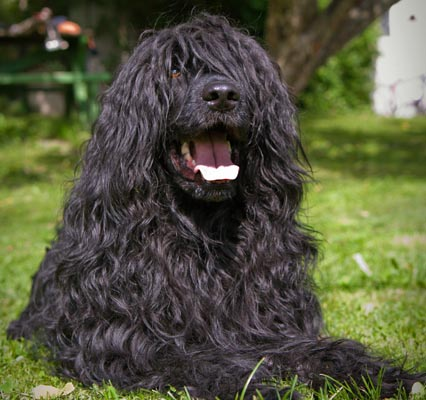 portuguese water dog black image