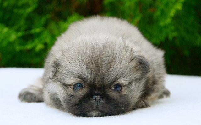 pekingese fawn puppy image