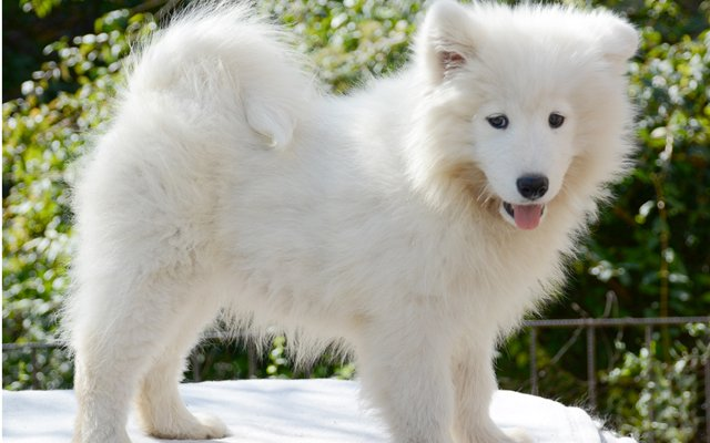 Samoyed Puppies Breed information & Puppies for Sale