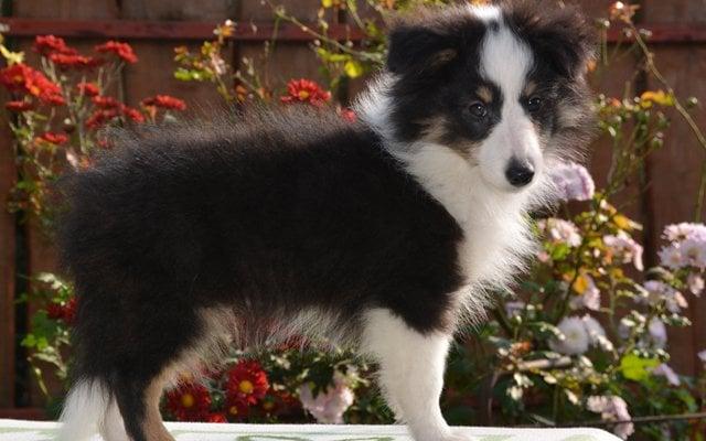 shetland sheepdog black&tan image
