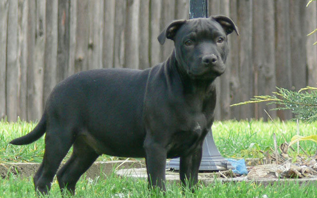 Staffordshire Bull Terrier Puppies Breed information
