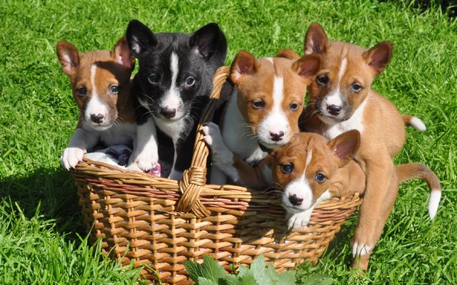 basenji chestnut red black puppies image
