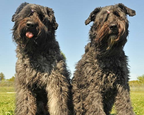 Bouvier Puppies Breed Information