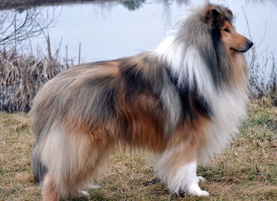 collie sable merle image