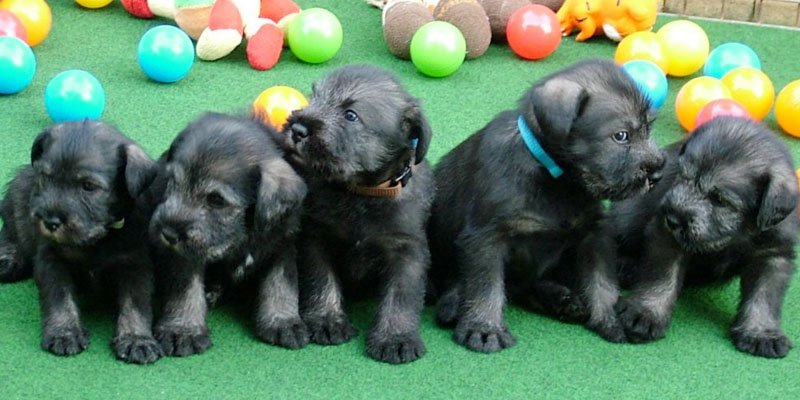 standard schnauzer black pepper and salt puppies image