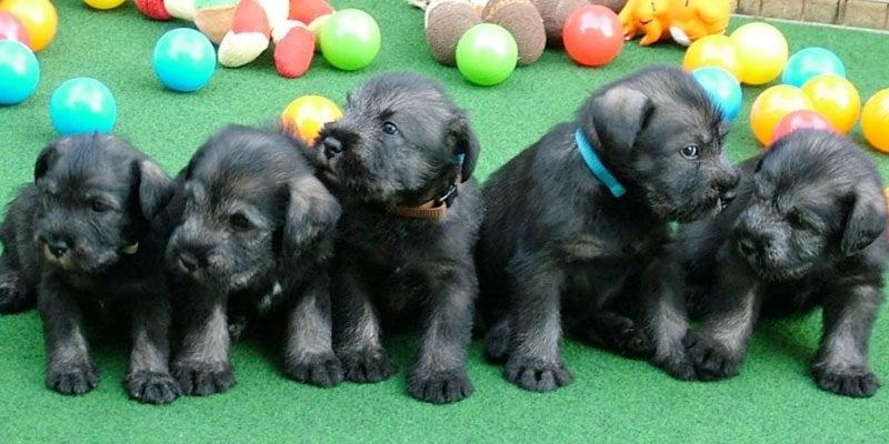 standard schnauzer black pepper and salt puppies image