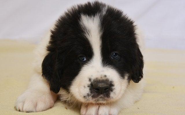 bucovina shepherd white with black marking puppy image