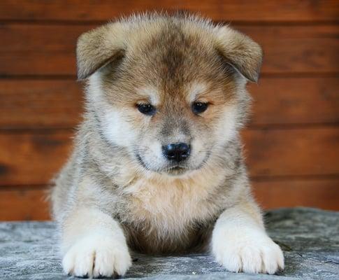 akita inu red puppy image