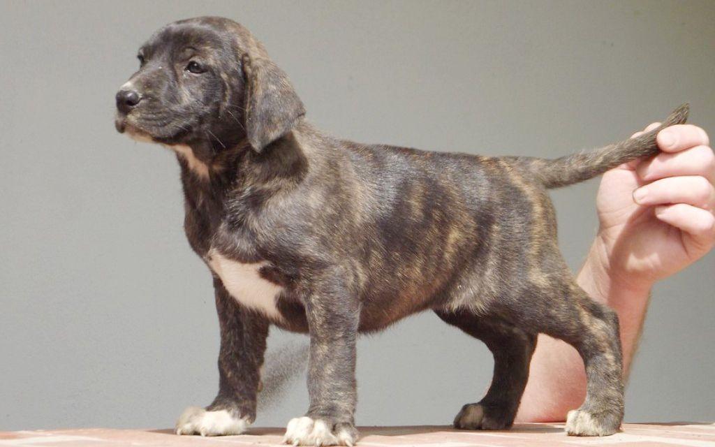 Uruguayan Cimarron brindle puppy picture