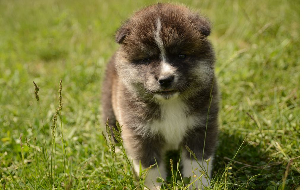 akita inu puppy red picture