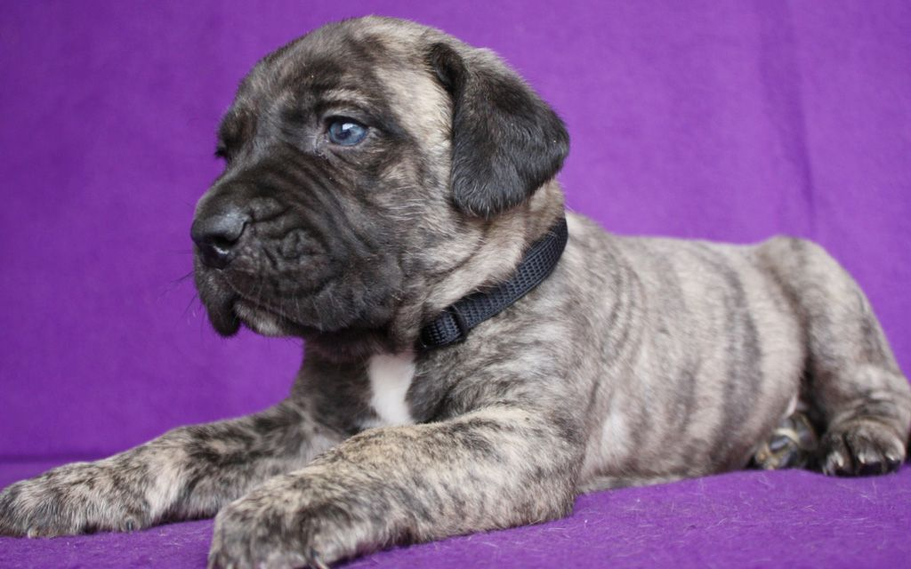 canary dog brindle puppy picture