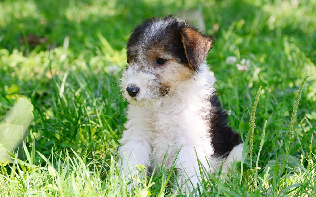 fox terrier tri picture