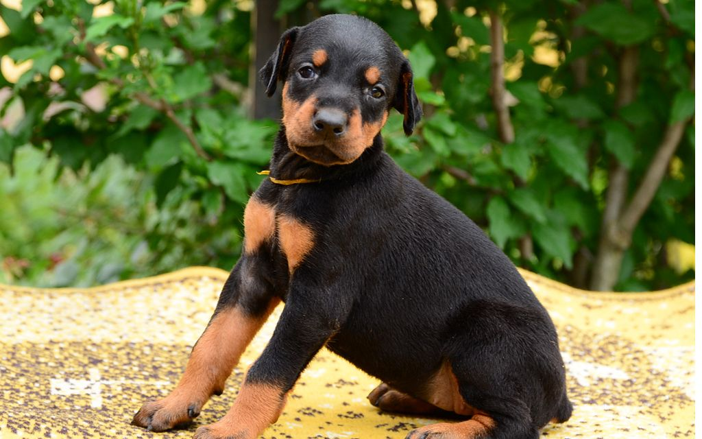 doberman black&tan puppy picture