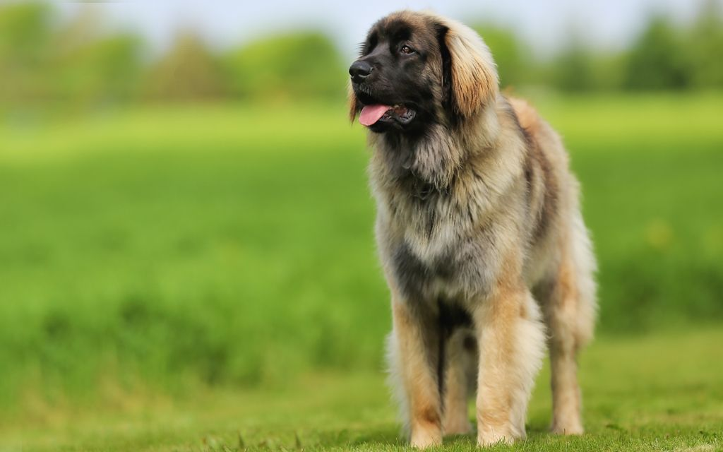 leonberger fawn picture