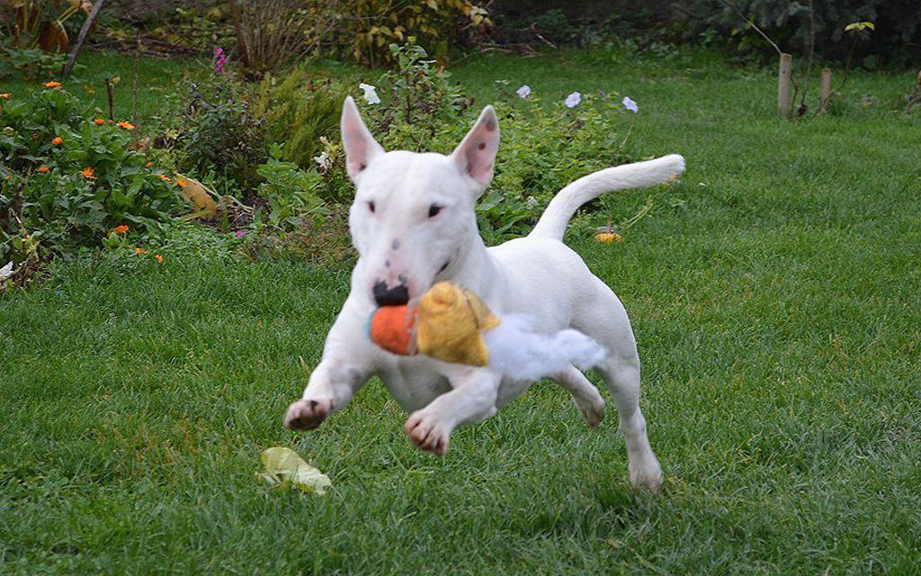 miniature bull terrier white picture