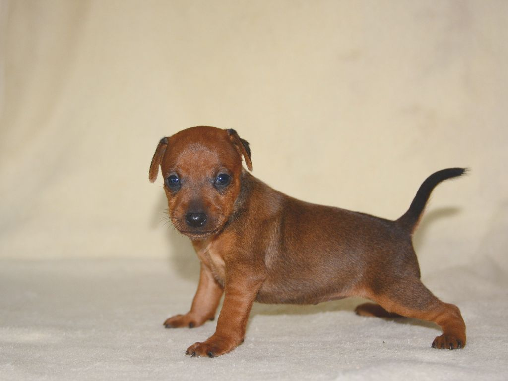 miniature pinscher fawn puppy picture