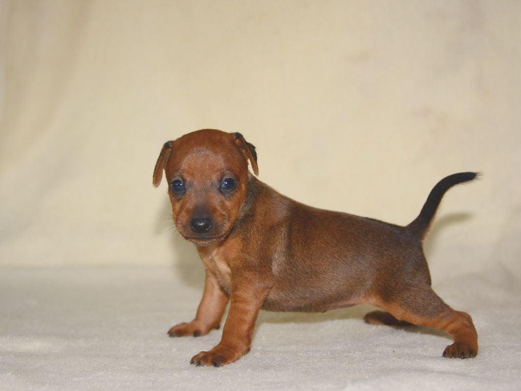 miniature pinscher fawn puppy picture
