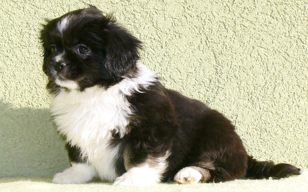 Tibetan Spaniel Puppies Breed Information Puppies For Sale