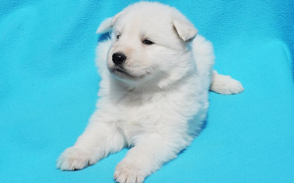 white swiss shepherd puppy picture