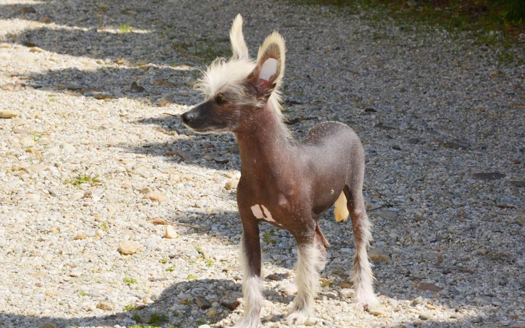 chinese crested black picture