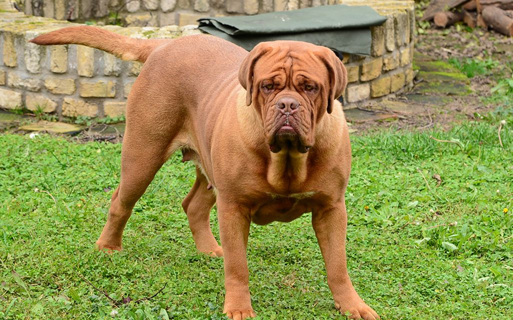 french mastiff picture
