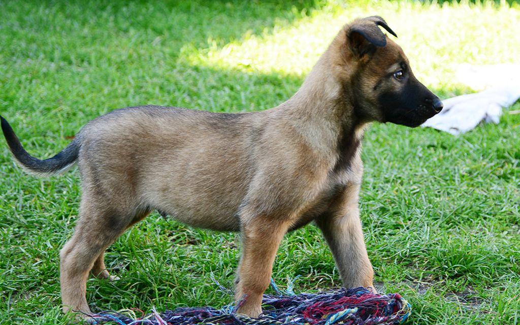 belgian shepherd malinios fawn puppy picture