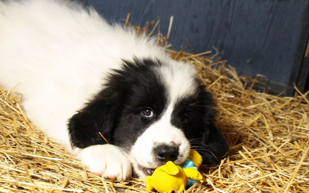 bucovina shepherd white with black marking puppy picture