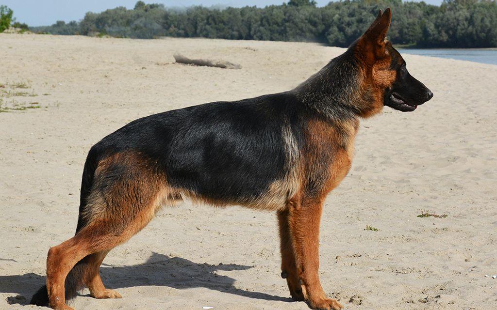 german shepherd black&tan picture