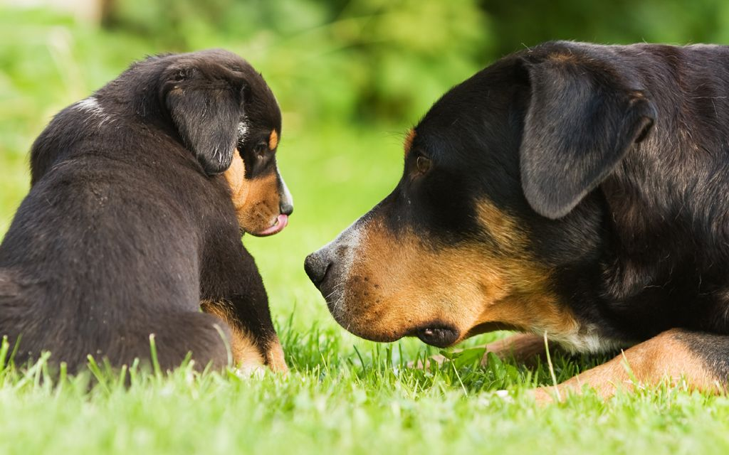 greater swiss mountain dog black and tan puppy picture