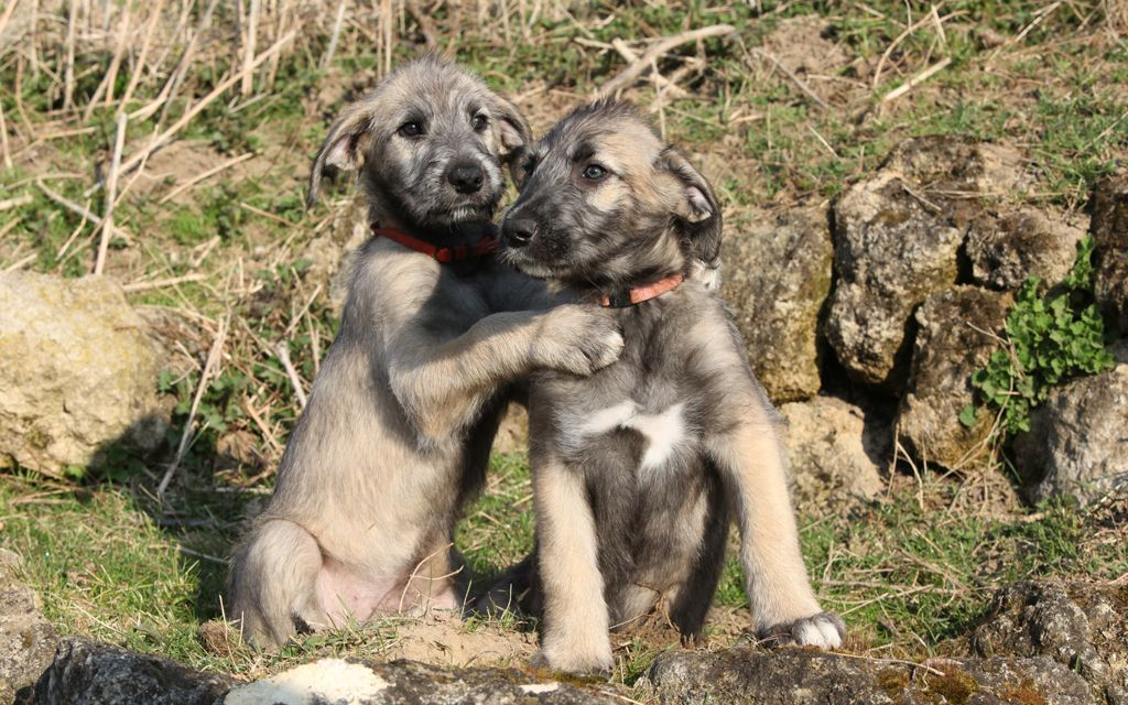 irish wolfhound fawn puppies picture