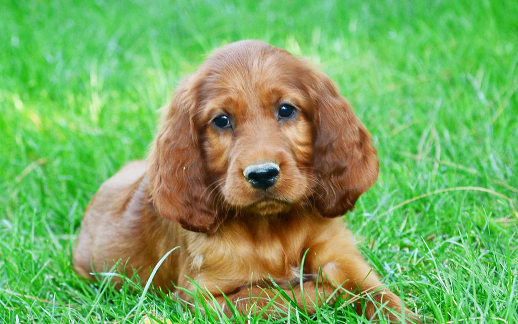 irish setter red puppy picture