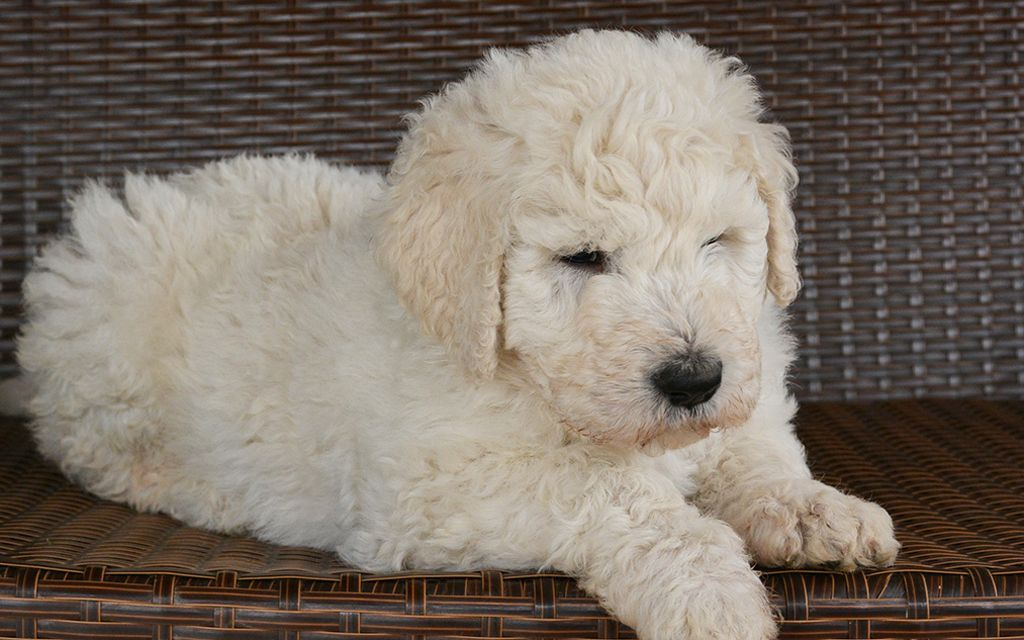 komondor puppy picture