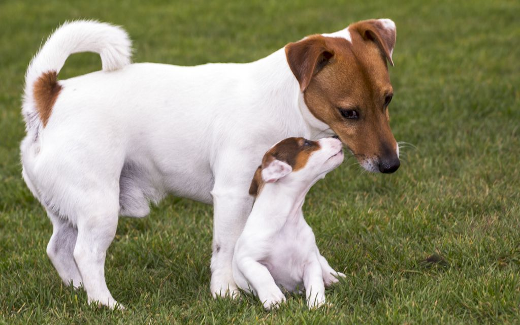 jack russel puppy picture