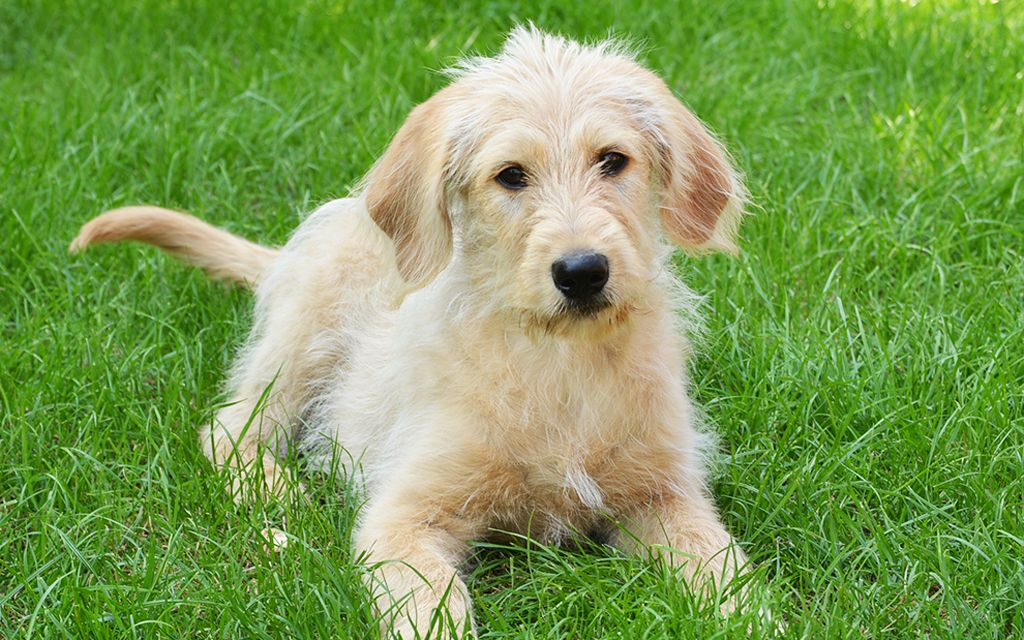 labradoodle gold picture