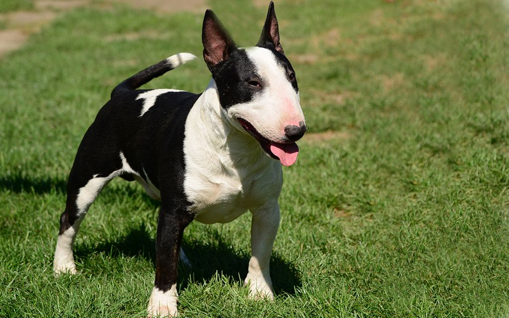 miniature bull terrier black picture