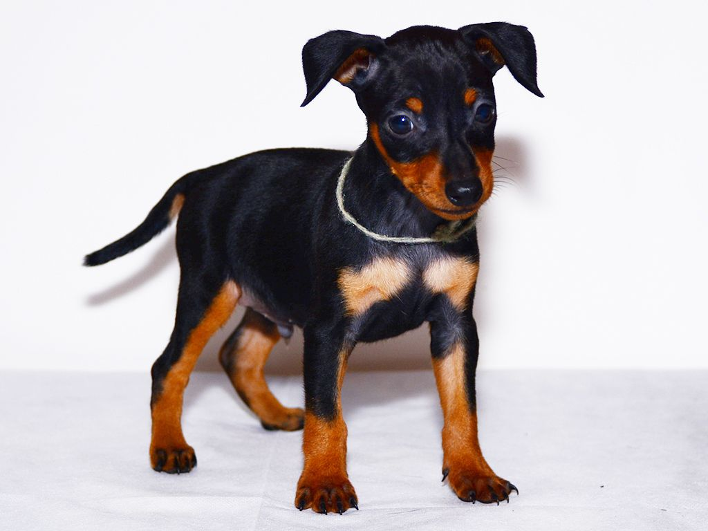 miniature pinscher black&tan puppy