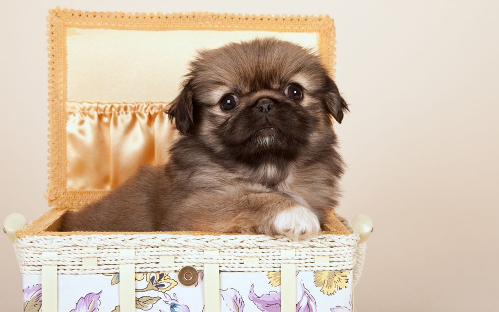 pekingese fawn puppy picture