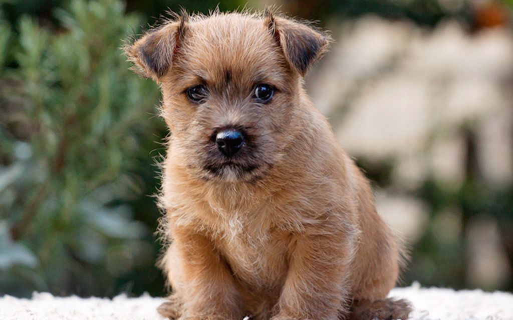 norwich terrier red puppy picture