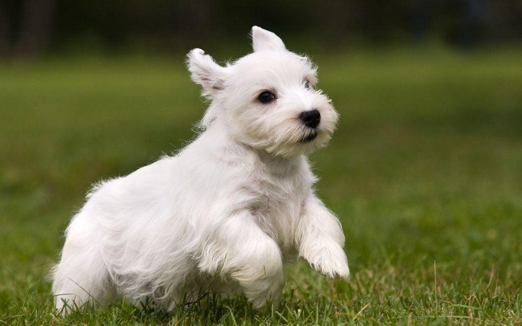 sealyham terrier white picture