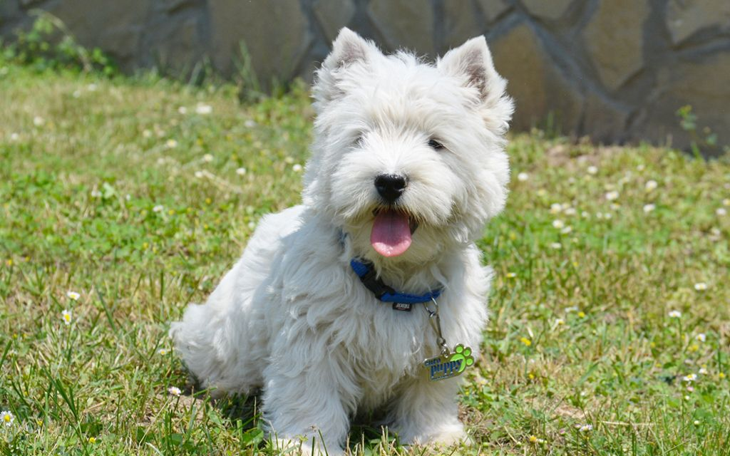 west highland white terrier puppies breed information puppies for sale