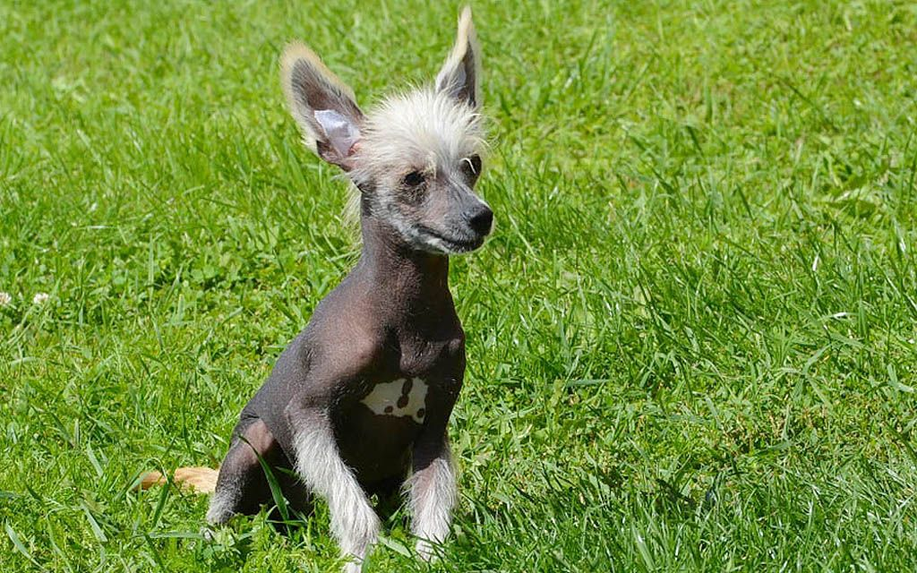 chinese crested black puppy picture