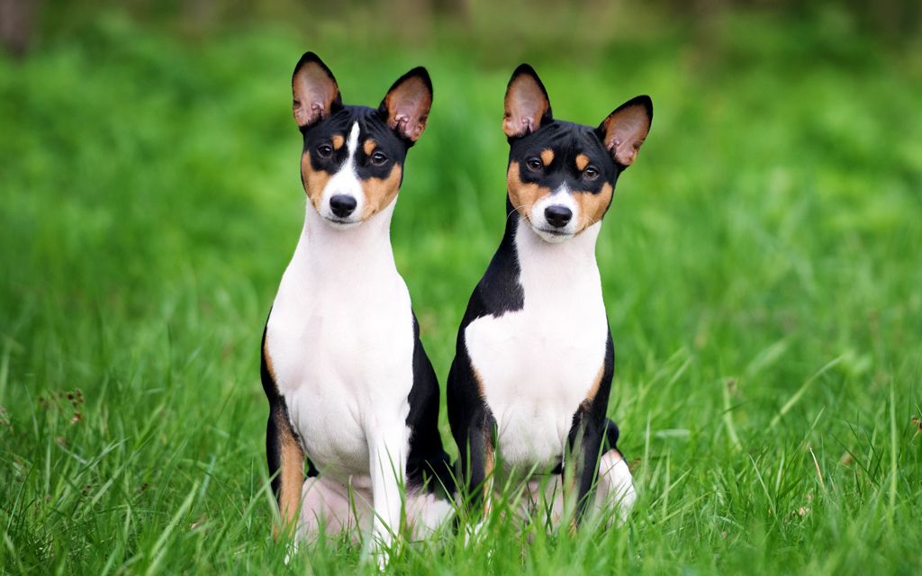 basenji tri-color picture