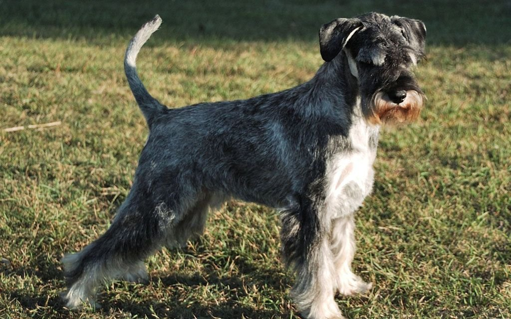 standard schnauzer pepper and salt picture