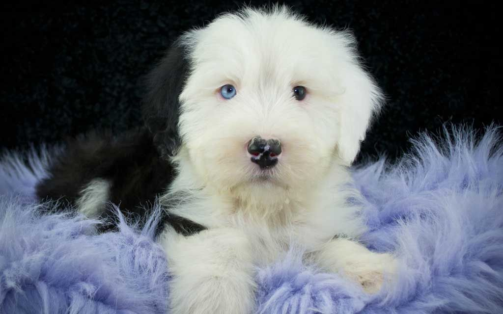 bobtail grey puppy picture