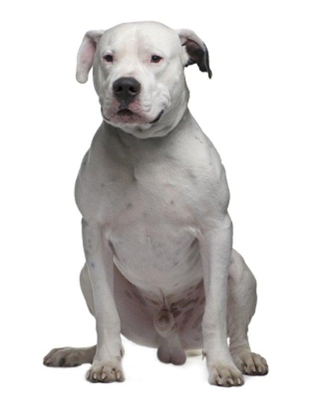 dogo argentino white picture