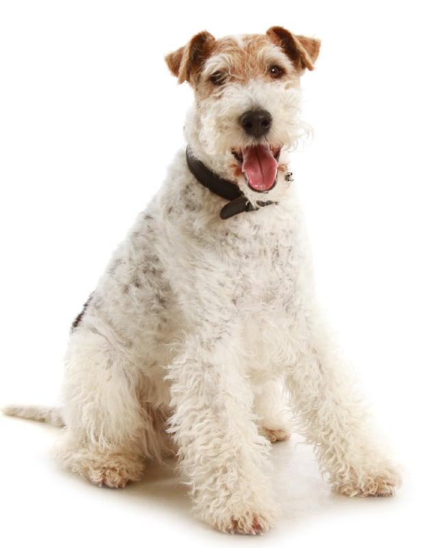 Fox Terrier image